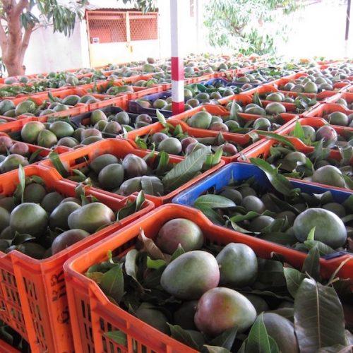Il Kenia guarda al mercato europeo per l'esportazione del mango